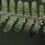 Coryphopteris Sundue 3108 5 (Coryphopteris sp.)