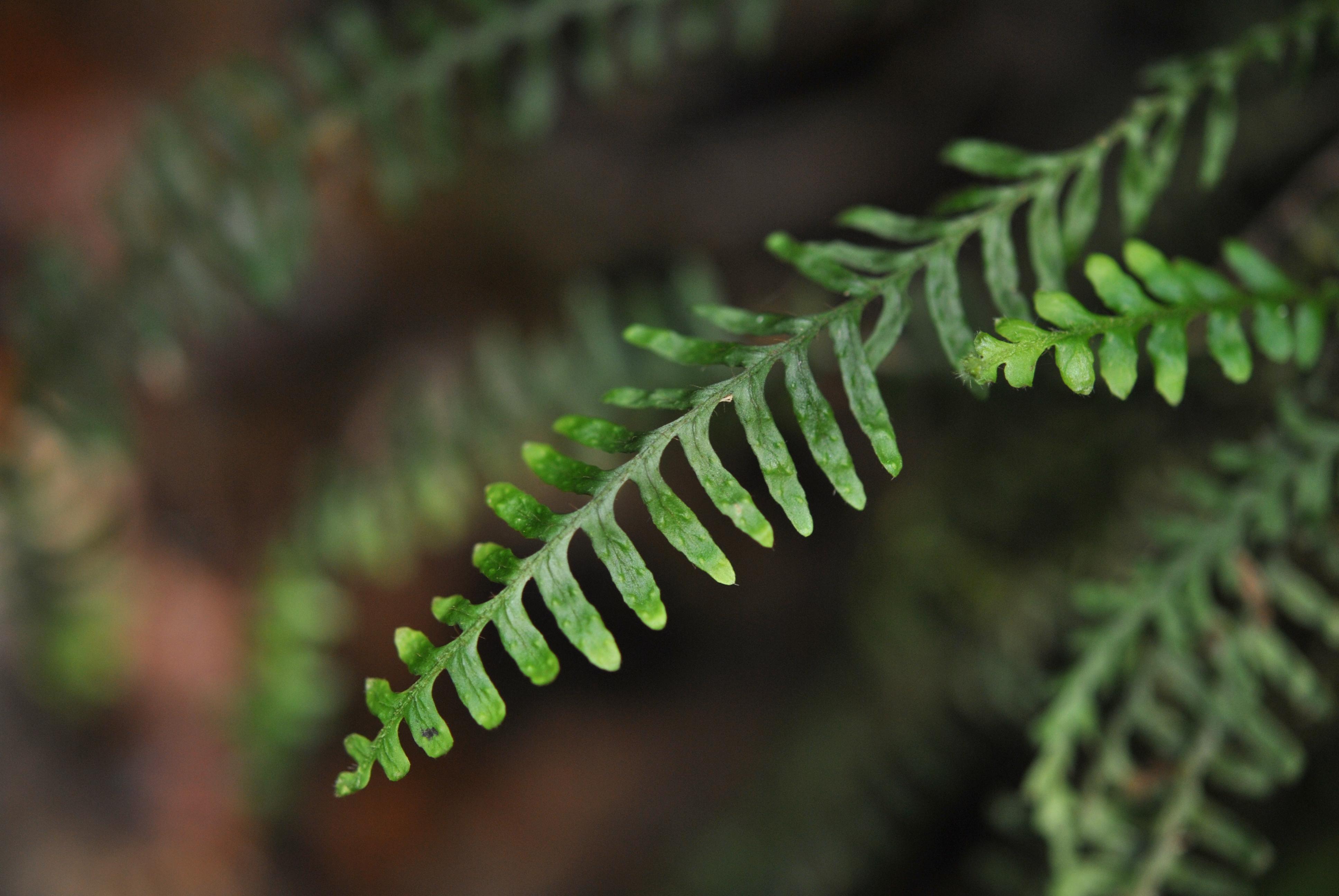 Tomophyllum macrum