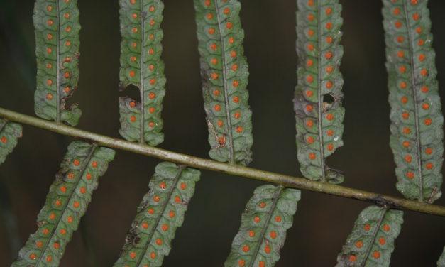 Goniophlebium subauriculatum