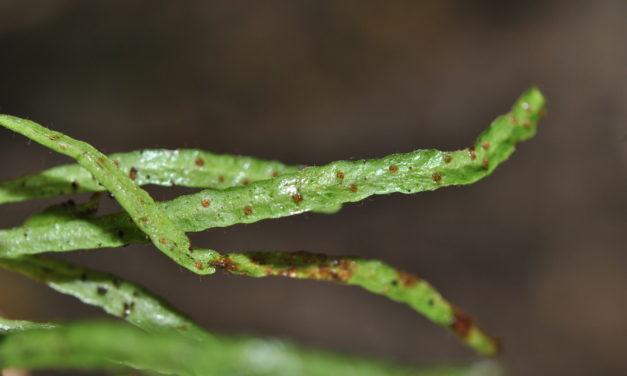 Oreogrammitis oblanceolata