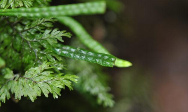 Oreogrammitis loculosa