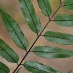 Alsophila scandens