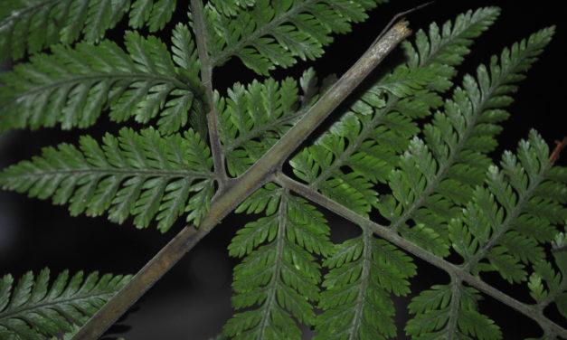 Davallodes novoguineense