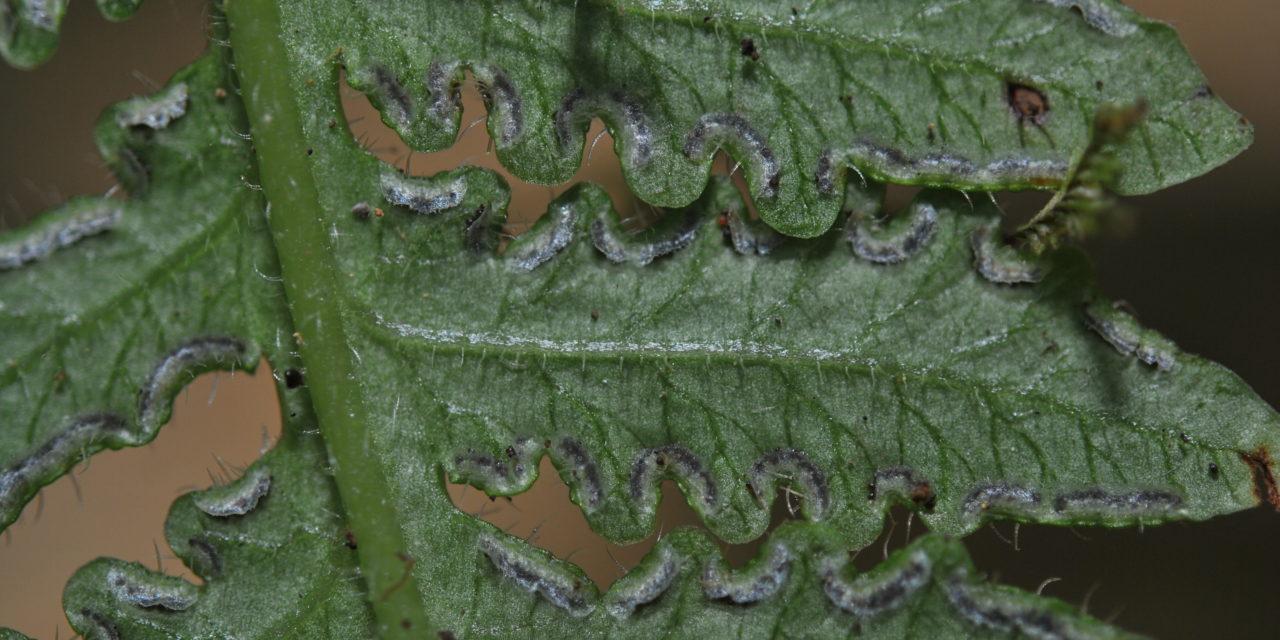Lonchitis hirsuta