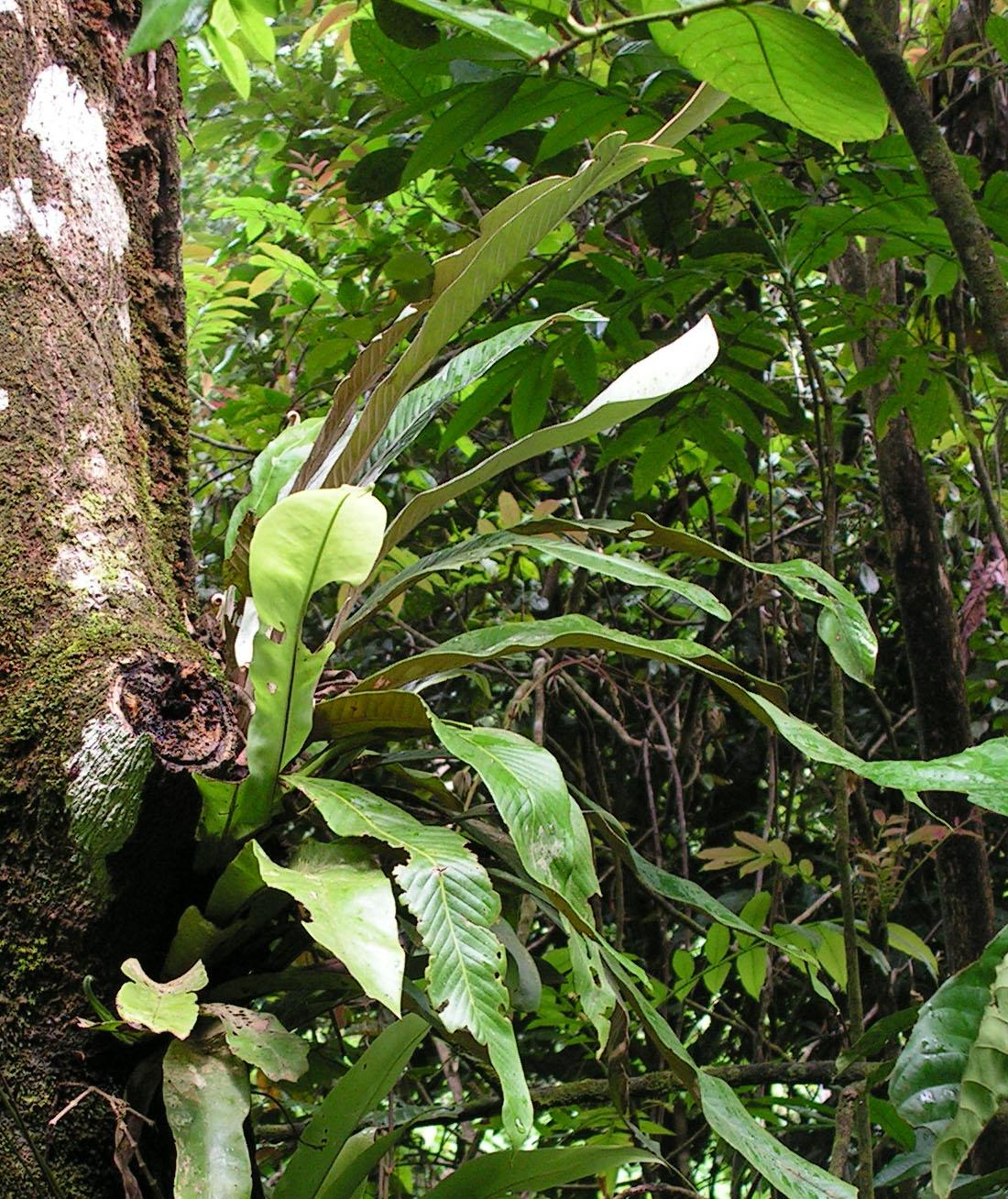Pyrrosia platyphylla