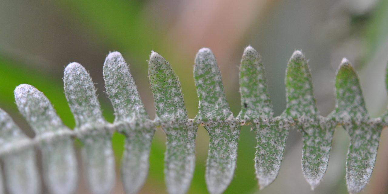 Pleopeltis furfuraceum