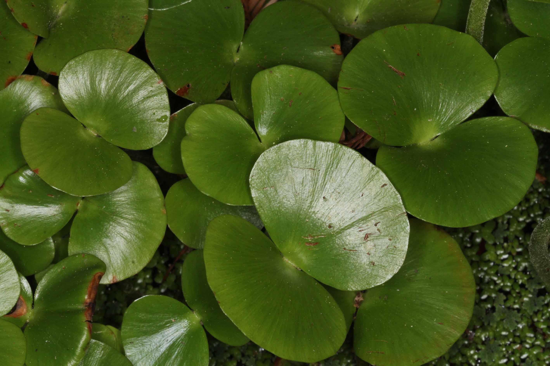 Regnellidium diphyllum