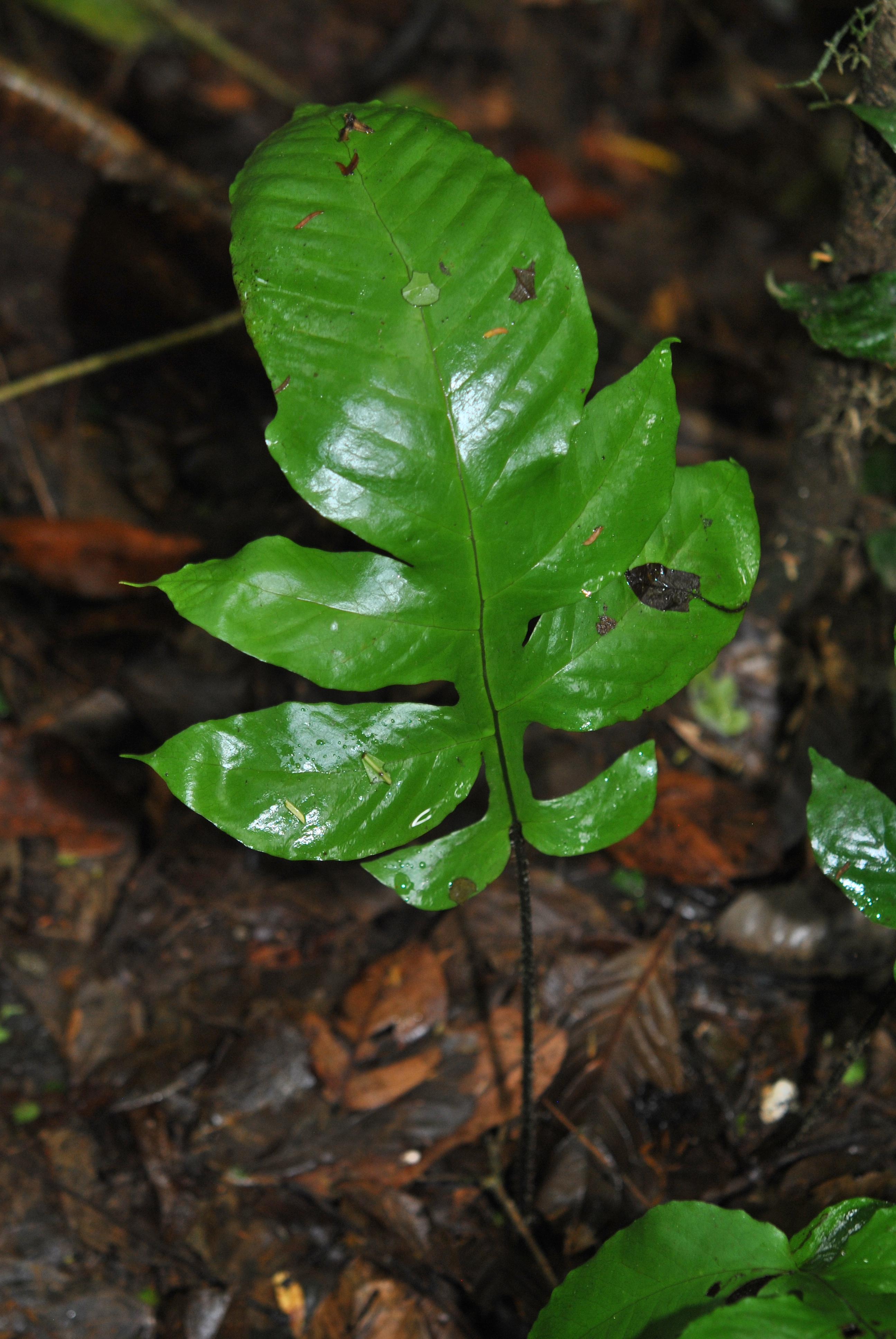 Hypoderris nicotianifolia