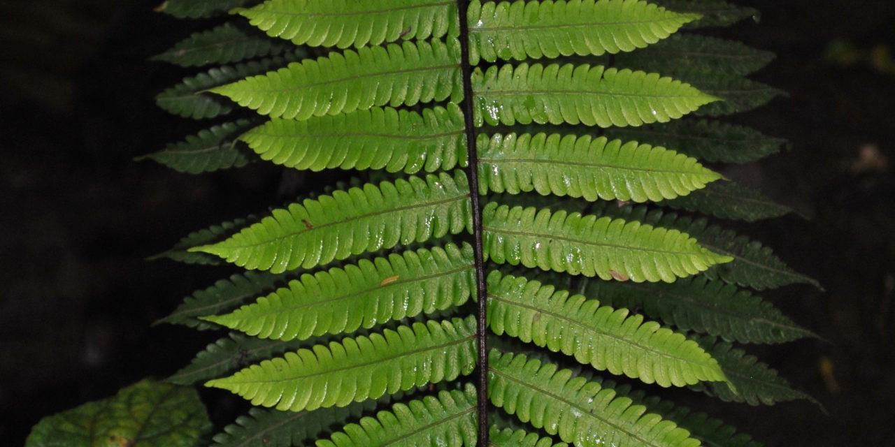 Goniopteris curta