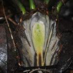 Leptopteris alpina