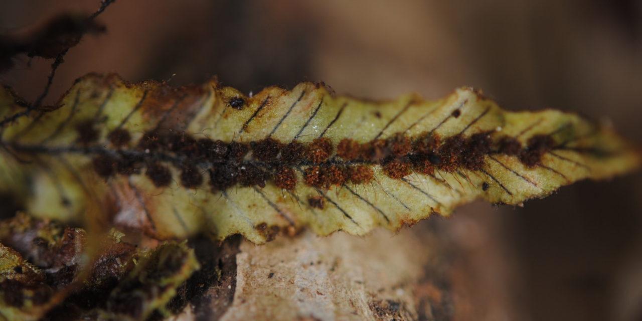 Oreogrammitis reinwardtii