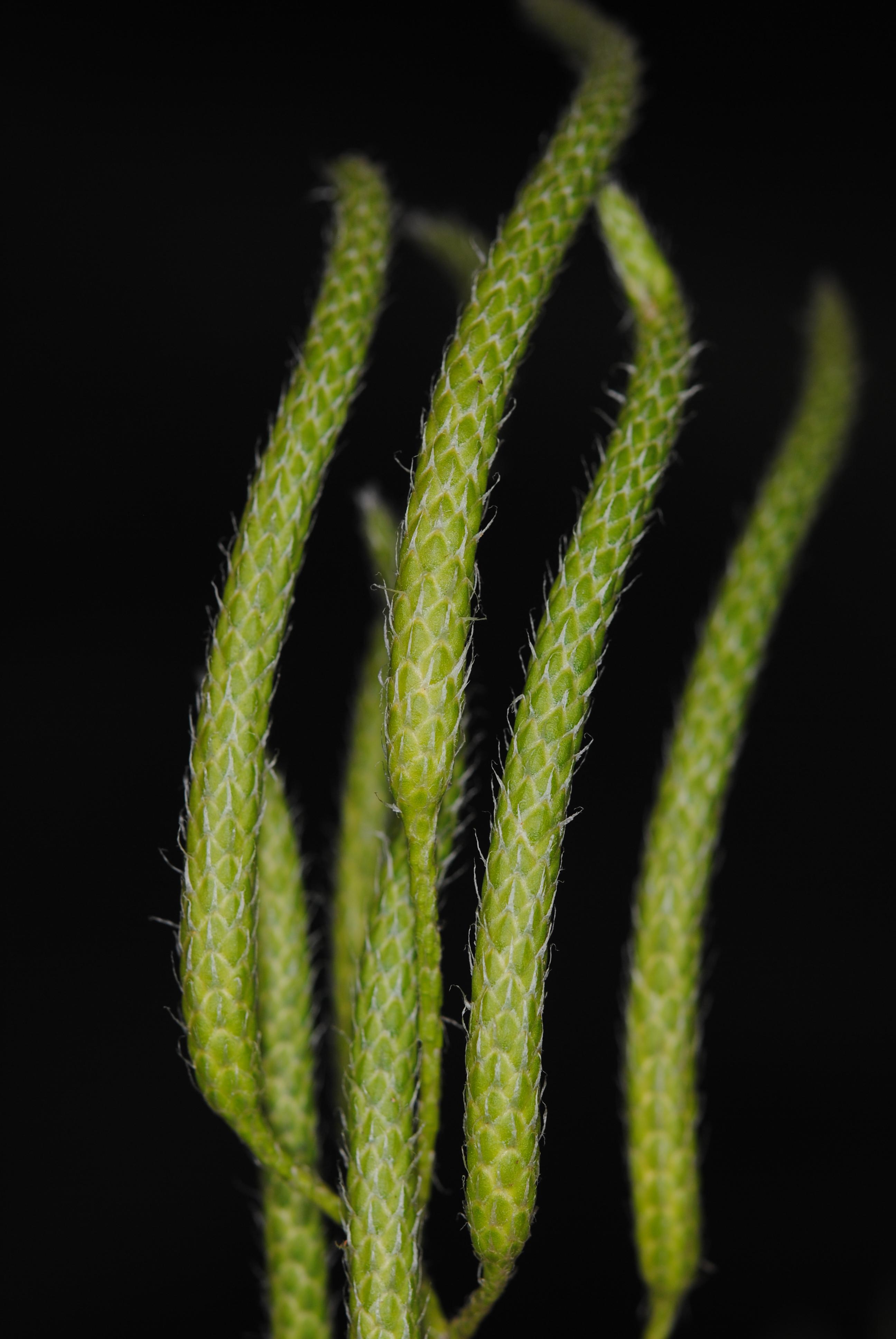 Lycopodium clavatum s.l.