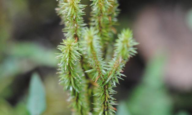 Huperzia quasipolytrichioides