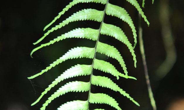 Asplenium harpeodes