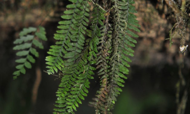 Galactodenia delicatula