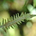 A naturally occurring hybrid between Oreogrammitis longiceps and O. sumatrana