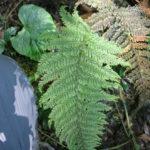 Abrodictyum meifolium
