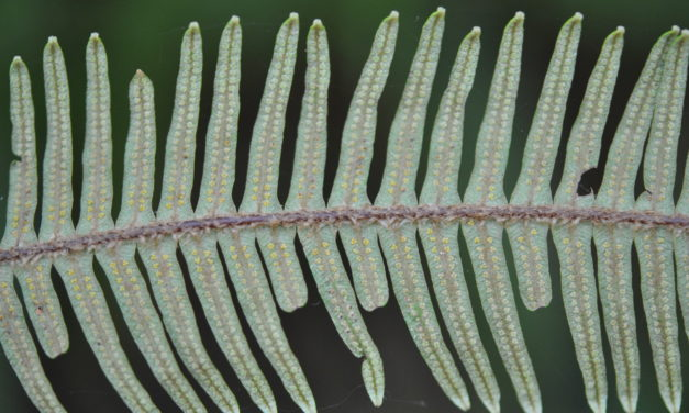 Sticherus bifidus