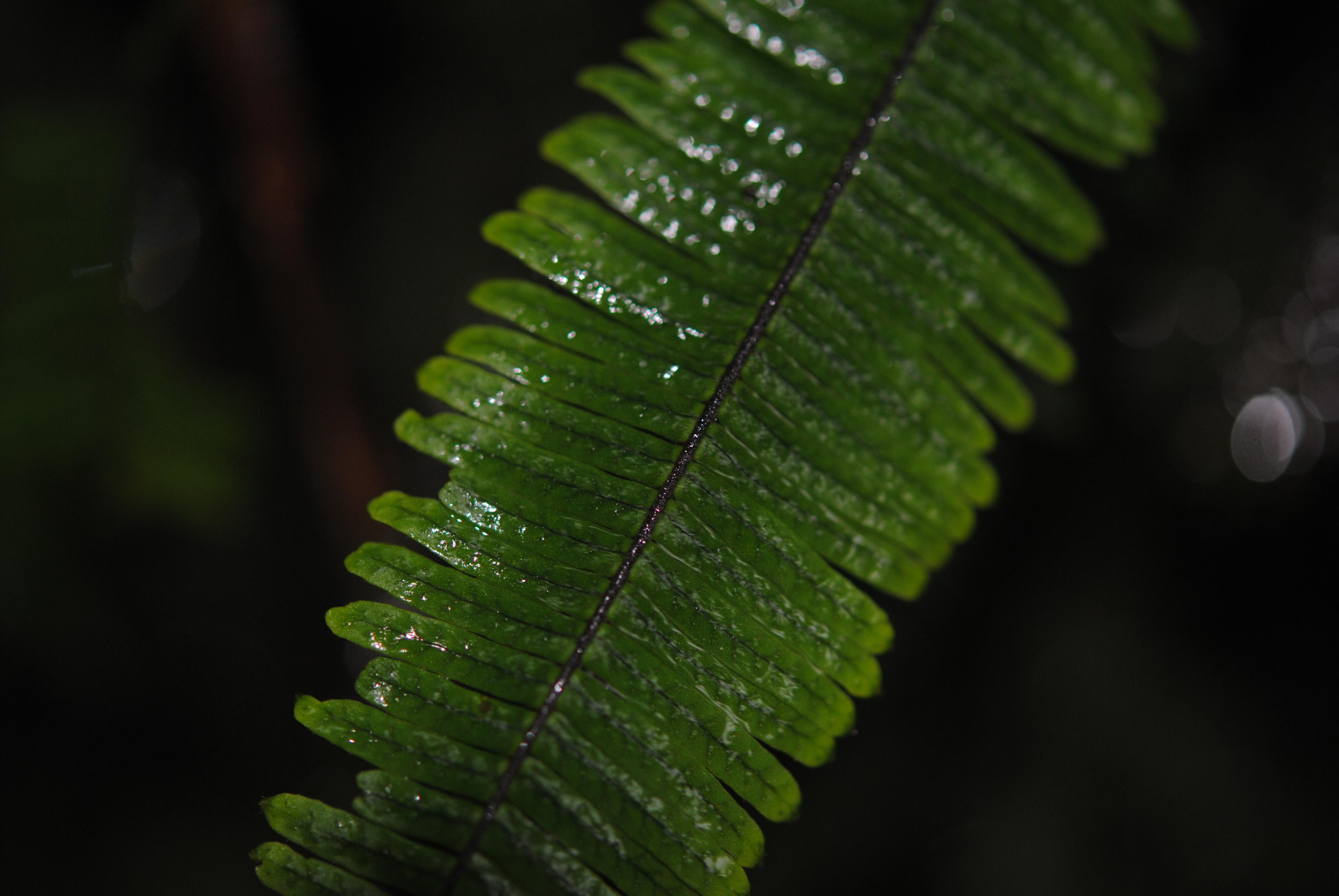 Mycopteris taxifolia