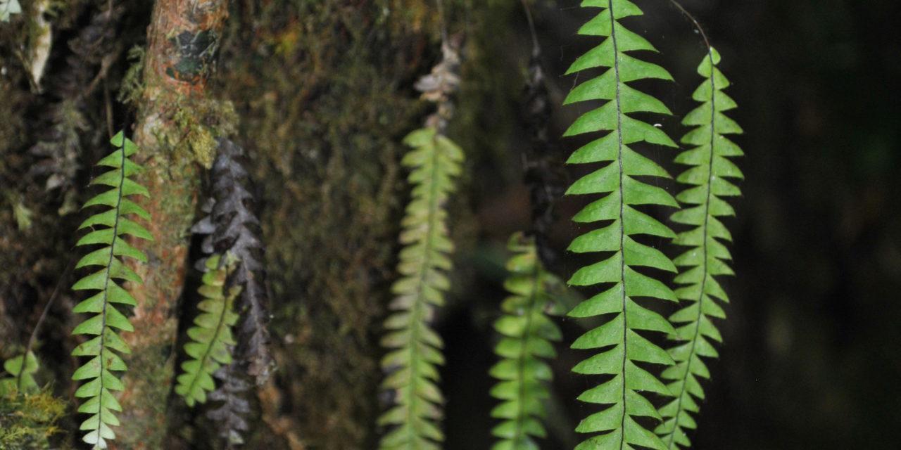 Terpsichore asplenifolia