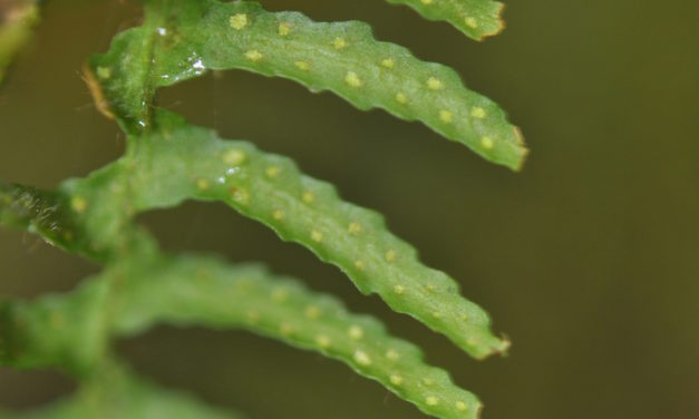 Tomophyllum polytrichum