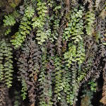 Key to the genera of grammitid ferns
