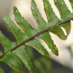 Asplenium cf monanthes
