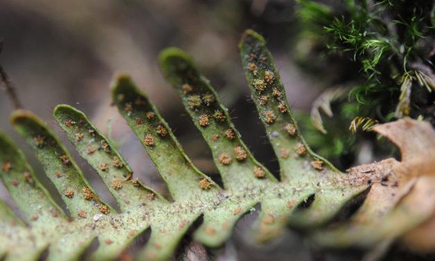 Ceradenia oidiophora
