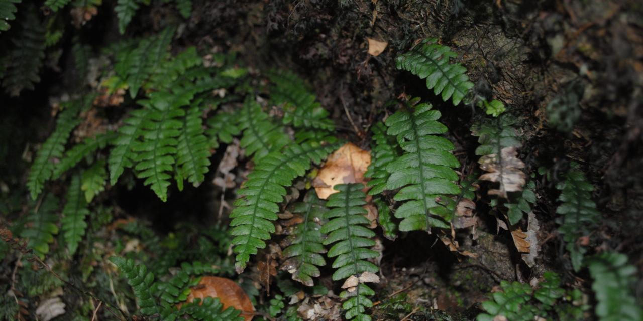 Austroblechnum stoloniferum