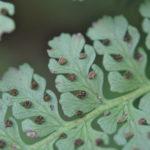 Dennstaedtia cornuta