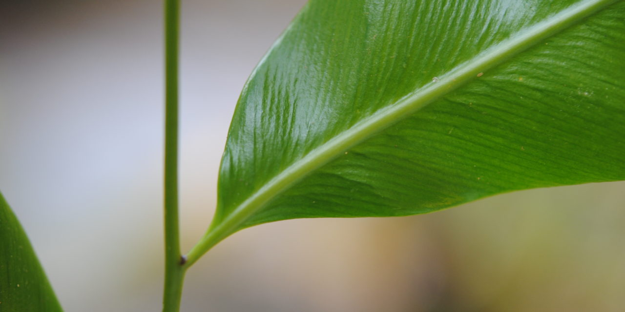 Olfersia cervina