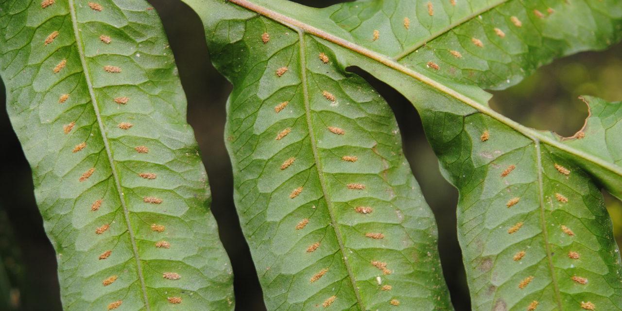 Polypodium rhachipterygium