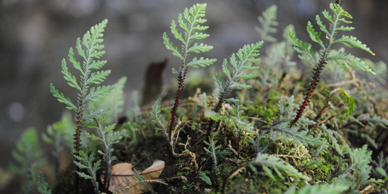 Selaginella hoffmannii