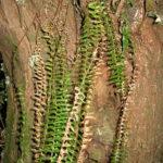 Ceradenia aulaeifolia