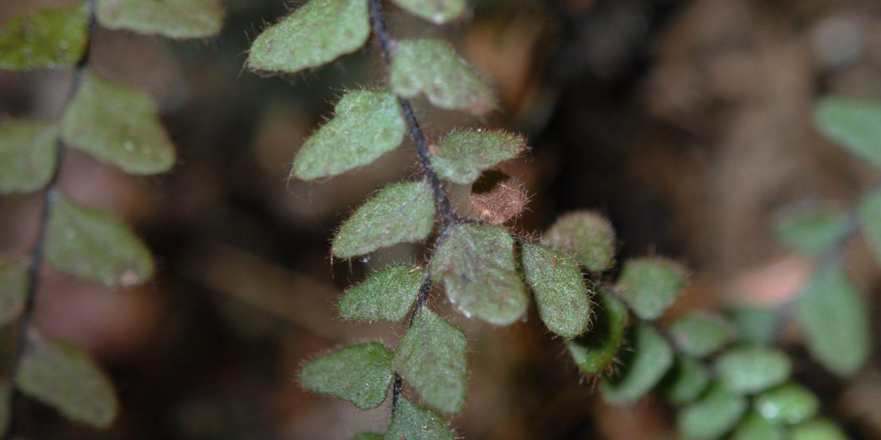 Alansmia heteromorpha
