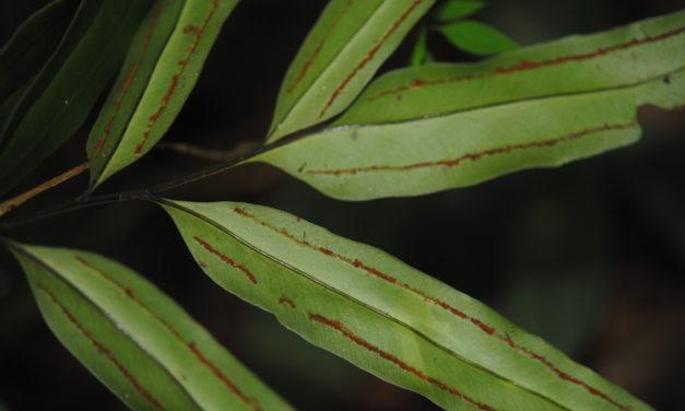 Taenitis blechnoides