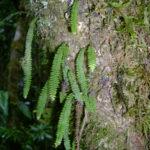Ascogrammitis pichinchensis