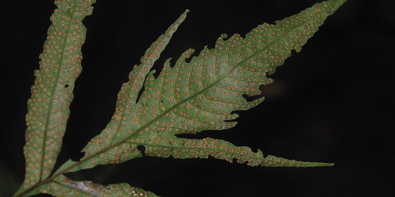 Tectaria vivipara