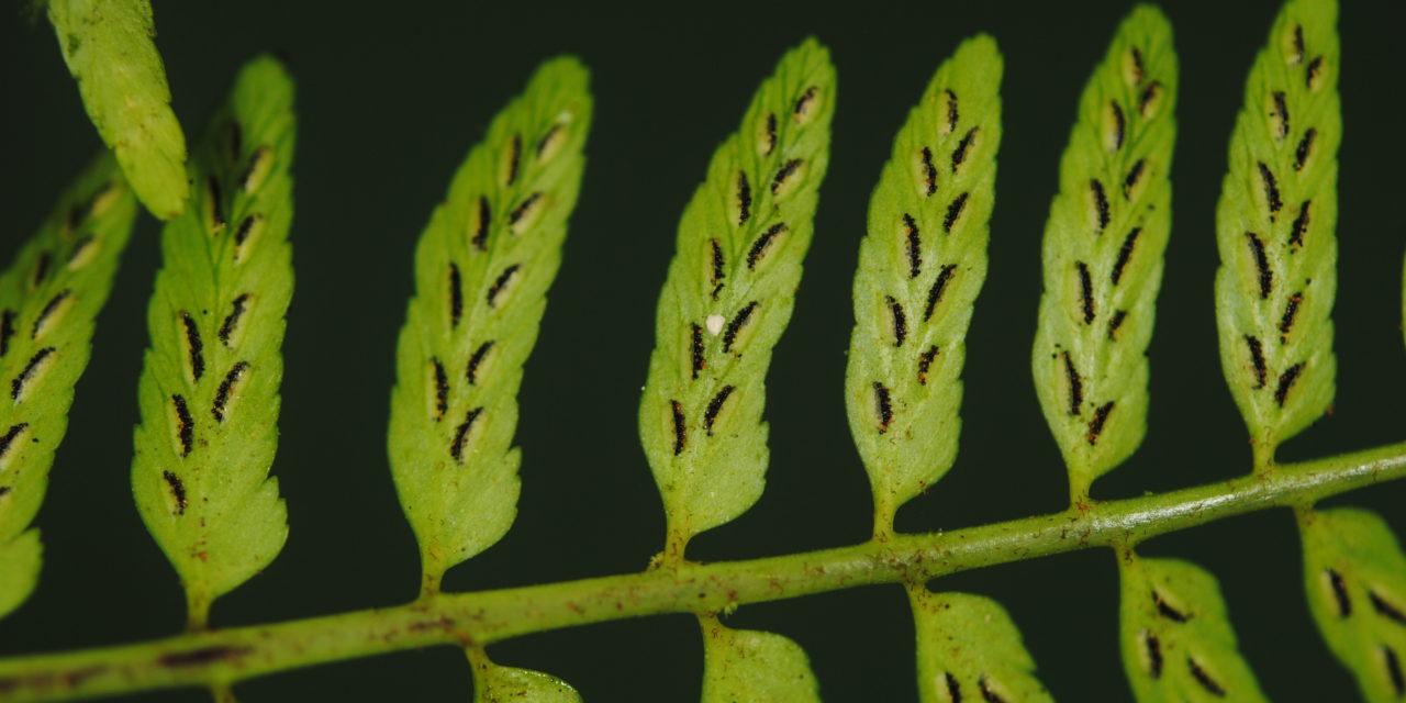 Asplenium macilentum