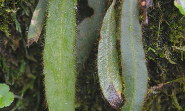 Elaphoglossum costaricense