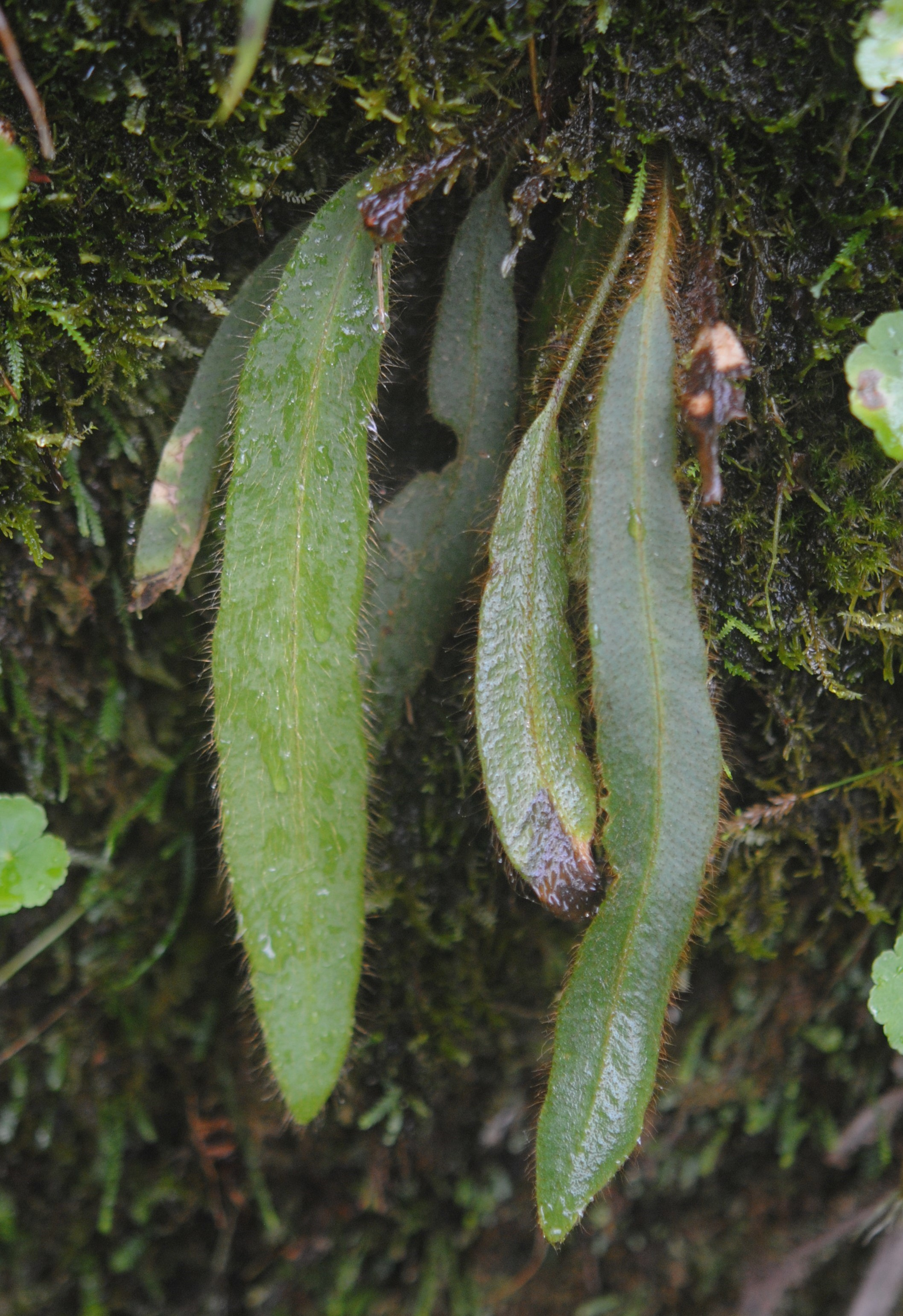 Elaphoglossum costaricense