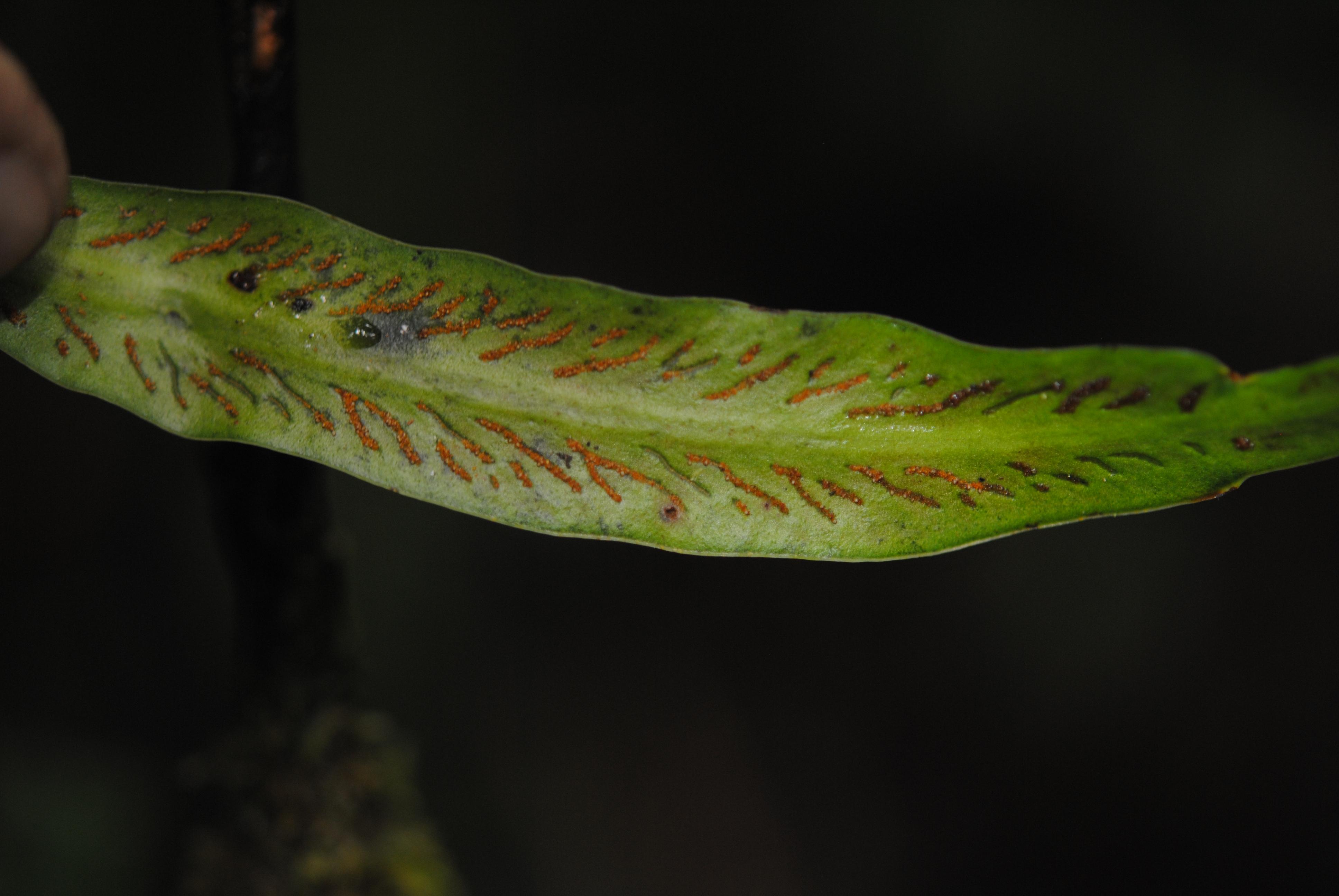 Scoliosorus ensiformis
