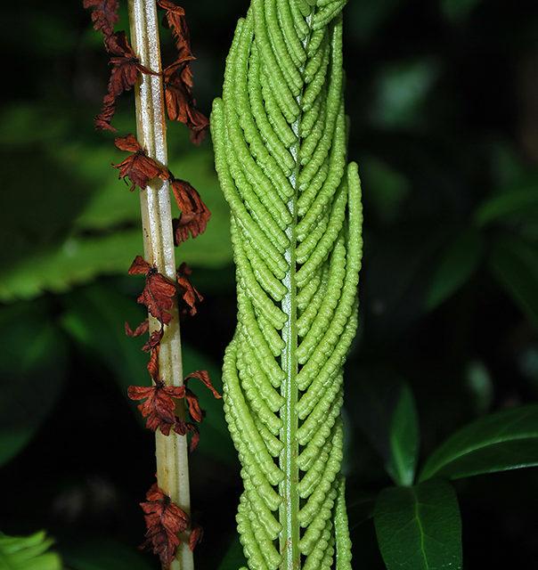 Matteuccia struthiopteris (L.) Tod.