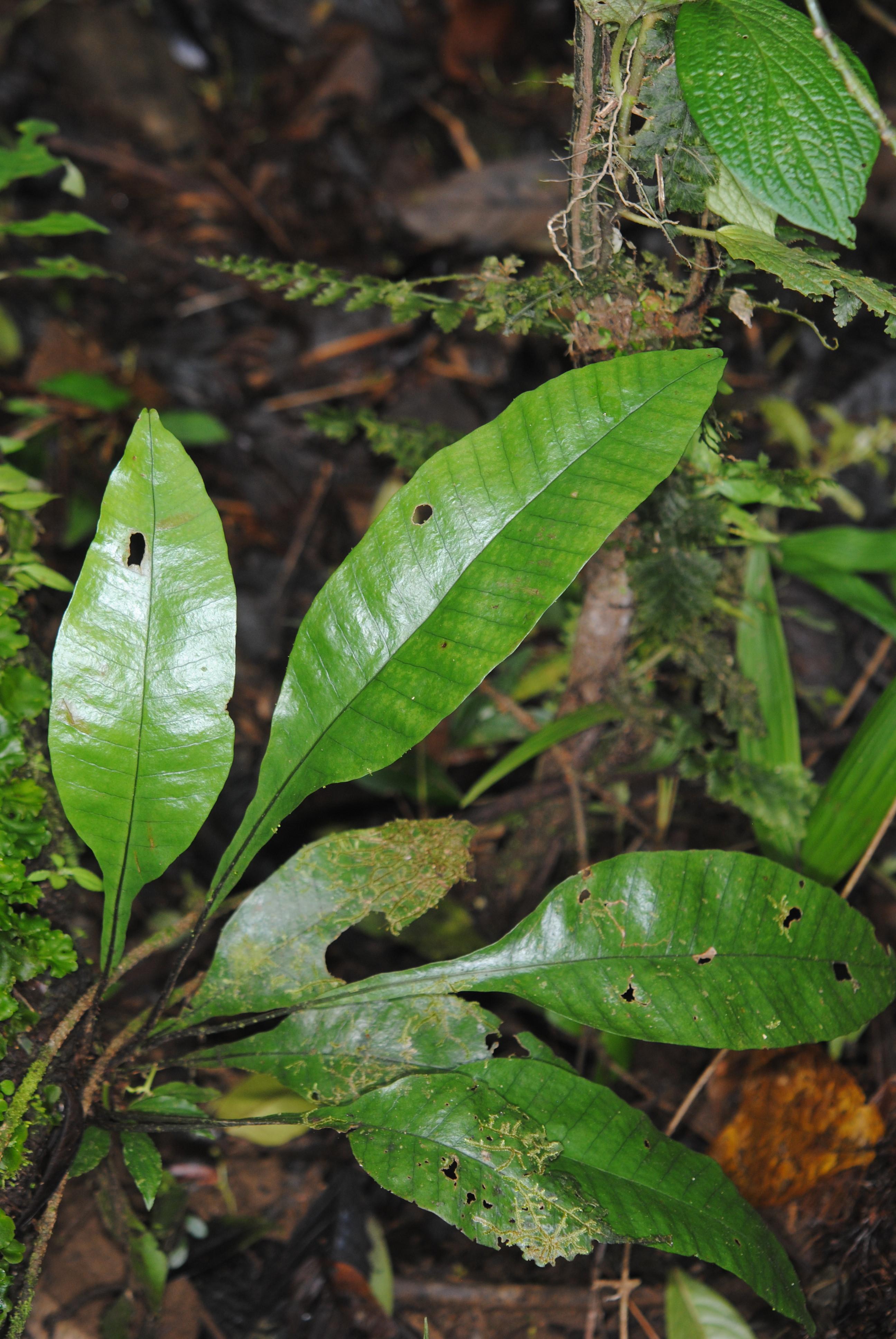 Dracoglossum plantagineum
