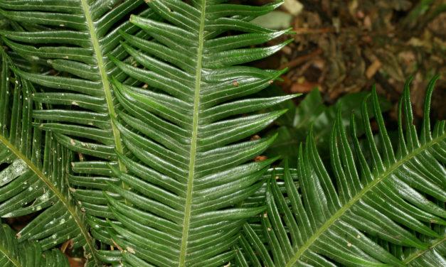 Lomaridium contiguum