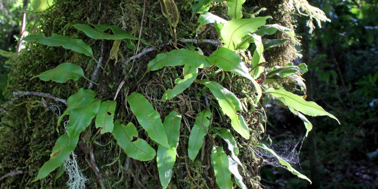 Elaphoglossum curtii