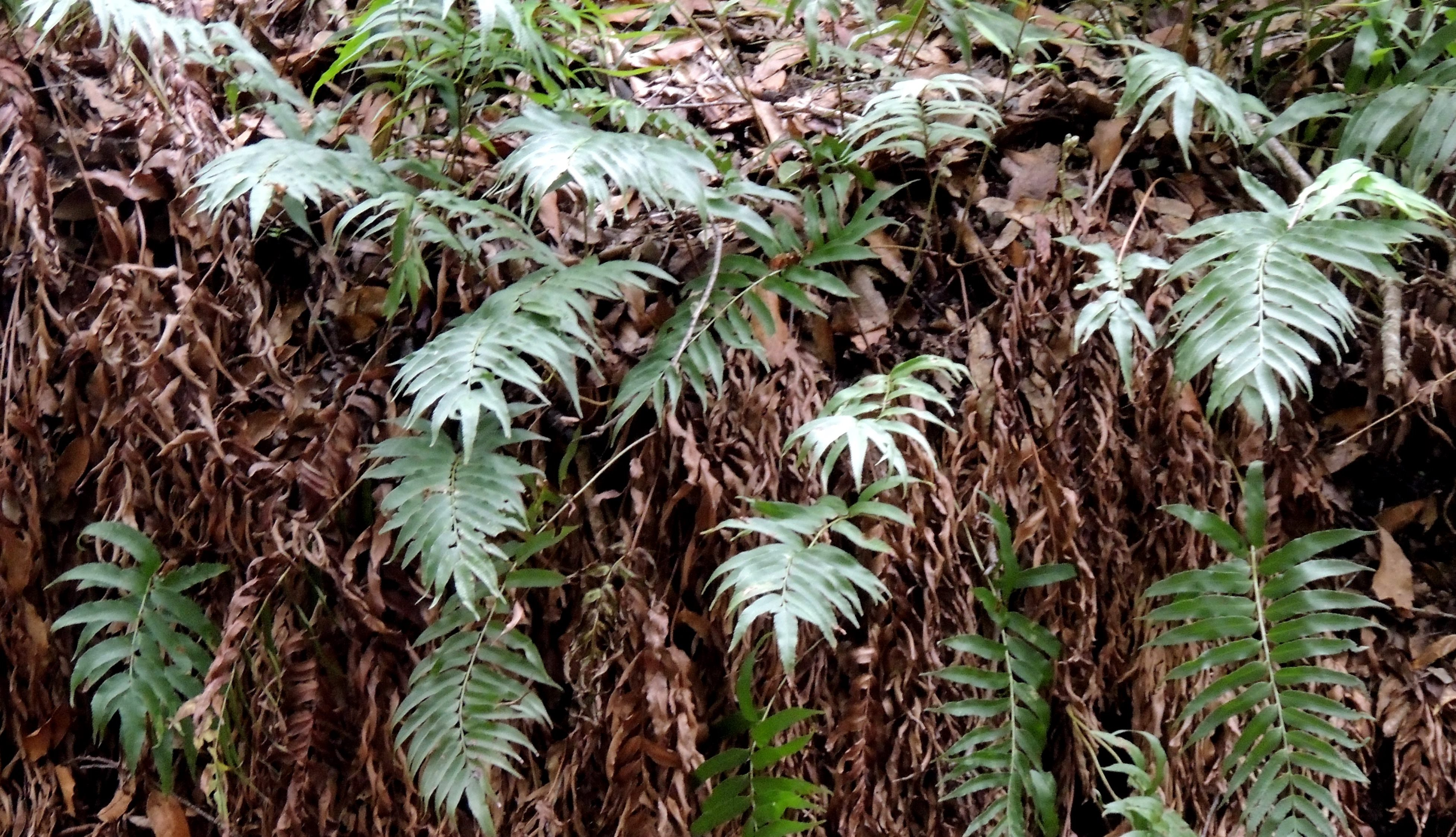 Phanerophlebia umbonata