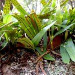 Pleopeltis polylepis