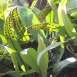 Pleopeltis polylepis RT17759 (8)