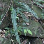 Campyloneurum nitidum